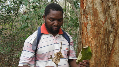 Cosmas Mlig with Karomia gigas leaf and twig