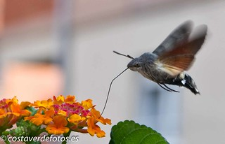 Macroglossum stellatarum  (58 of 128).jpg | by Vera Anikina