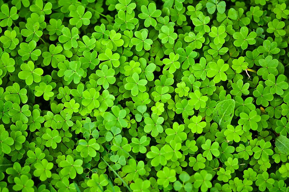 Tr boles encuentra el de cuatro hojas a photo on flickriver - Plantas de hojas verdes ...