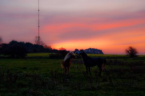 pink horse green field sunrise denmark pico arabian colt icelandic baldur ørslev