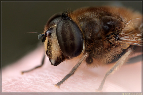 my favourite hoverfly