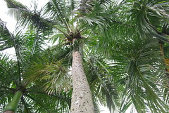 arecales, tropics, palm family, branch, tree, elaeis,