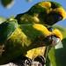 Ognorhynchus icterotis, Loro Orejiamarillo, Yellow - eared Parrot. by Santos W. Yate - Molano