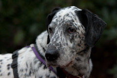 great dane(0.0), guard dog(0.0), louisiana catahoula leopard dog(1.0), dog breed(1.0), animal(1.0), english setter(1.0), dog(1.0), pet(1.0), setter(1.0), dalmatian(1.0), braque d'auvergne(1.0), cur(1.0), carnivoran(1.0),