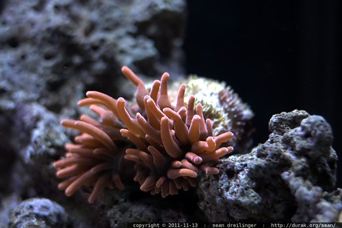 rose anemone    MG 1974