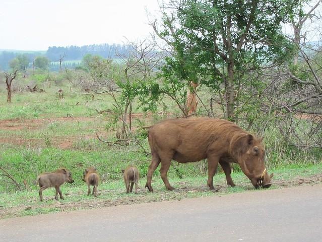 Baby Warthogs!