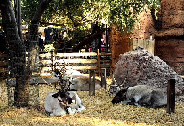 Reindeer at Big Thunder Ranch