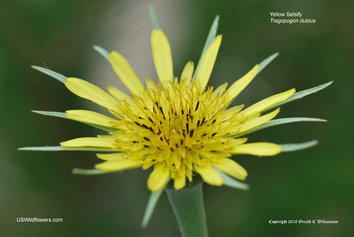 Yellow Salsify, Yellow Goatsbeard, Western Salsify, Wild Oysterplant - Tragopogon dubius