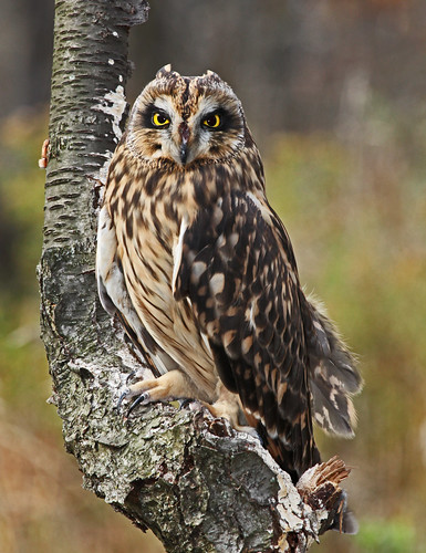 Short-eared Owl by JKissnHug