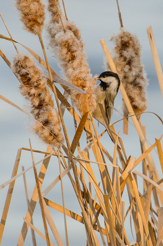 Chickadee on Cattail-0914.jpg
