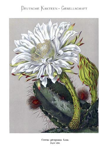 025-Bluhende Kakteen (Iconographia Cactacearum)-Tomo 3-1904-1921- Karl Moritz Schumann y otros-cortesía de www.cactuspro.com