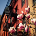Blush Response - Japanese Magnolia Blossoms in the Spring - Stuyvesant Square- New York City