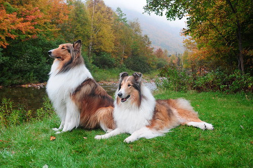 Our Rough Collies Buddy and Zack at the Cabot Trail, Nova Scotia