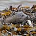 Otter @ Mull #5412