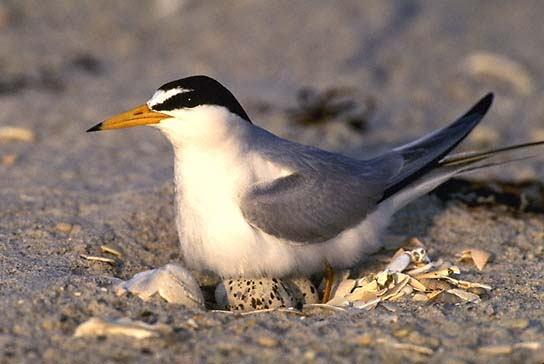Endangered interior least tern (Sterna antillarum)