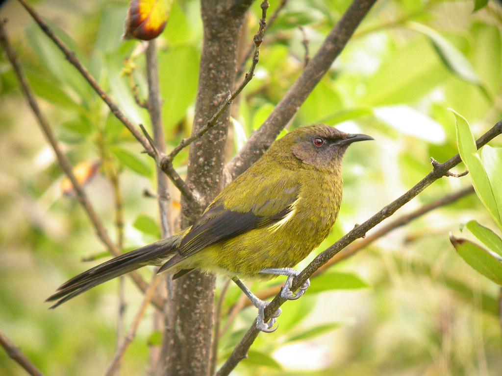 A BIRD IN THE HAND: A Samoan Mystery