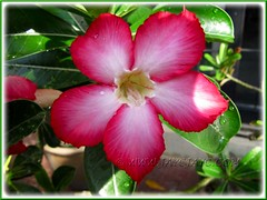 Adenium obesum: flower with pink+red tones