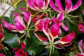 Also, I didn't know there were climbing lilies - gloriosa lilies