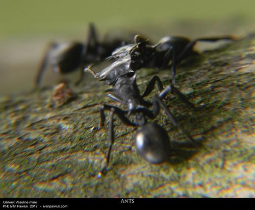 Hormigas by Ivan Pawluk