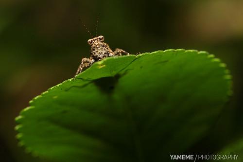 macro nature canon insect eos taiwan 南投 台灣 昆蟲 日月潭 生態 nantou 微距 明潭 玄光寺 flickraward 5dmarkii flickraward5 flickrawardgallery