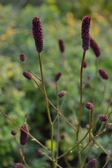 SANGUISORBA 'Autumn Bliss'