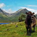 A Slaverin' Coo in the Cuillins