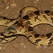 Night Adder (Causus rhombeatus) by cowyeow