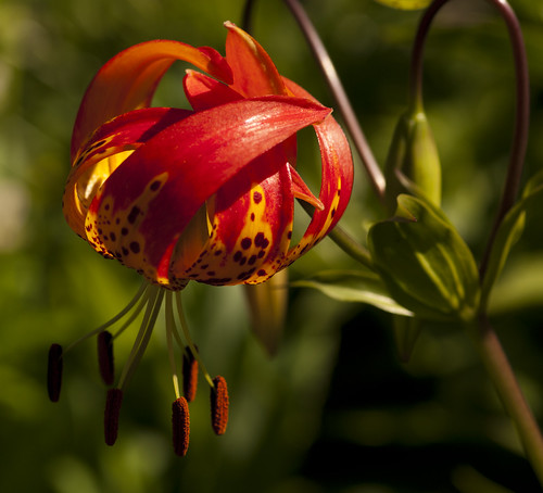 Firery Lily - Copyright R.Weal 2011
