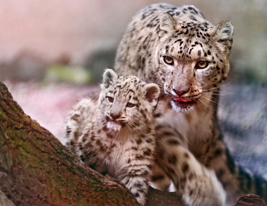 Mother snow leopard and cub
