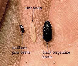 Southern Pine Beetle (U.S. Forest Service image)
