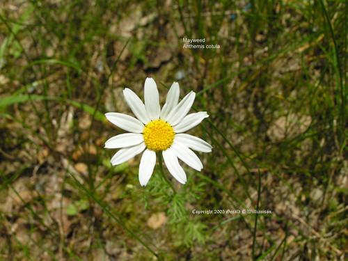 Mayweed, Stinking Chamomile - Anthemis cotula