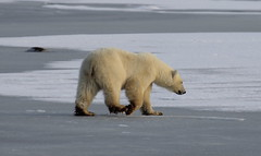 animal, arctic, polar bear, mammal, fauna, bear, wildlife,