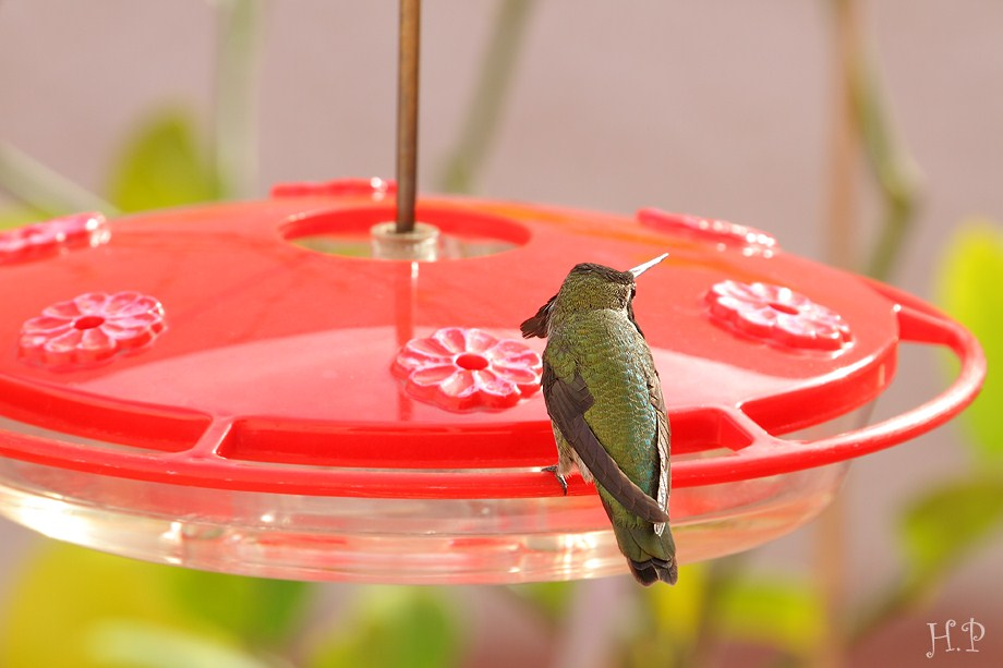 Anna's Hummingbird 112911-2
