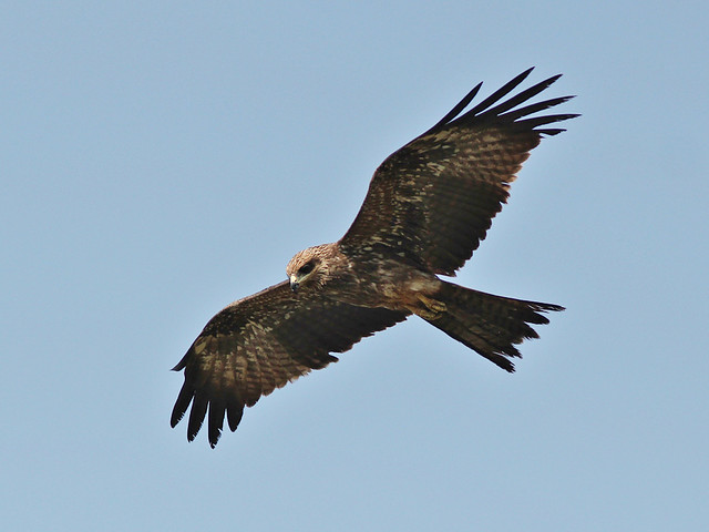 Indian kite bird - photo#4