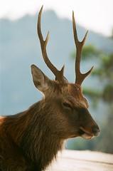 animal, antler, deer, horn, fauna, elk, wildlife,