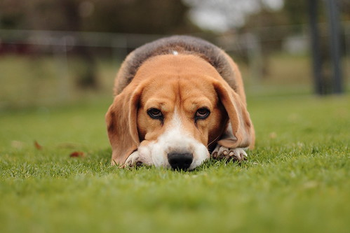Why so sad little beagle?