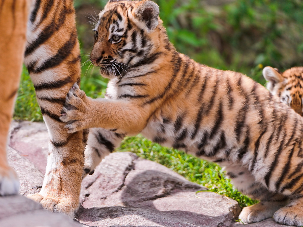 Cub playing with mom
