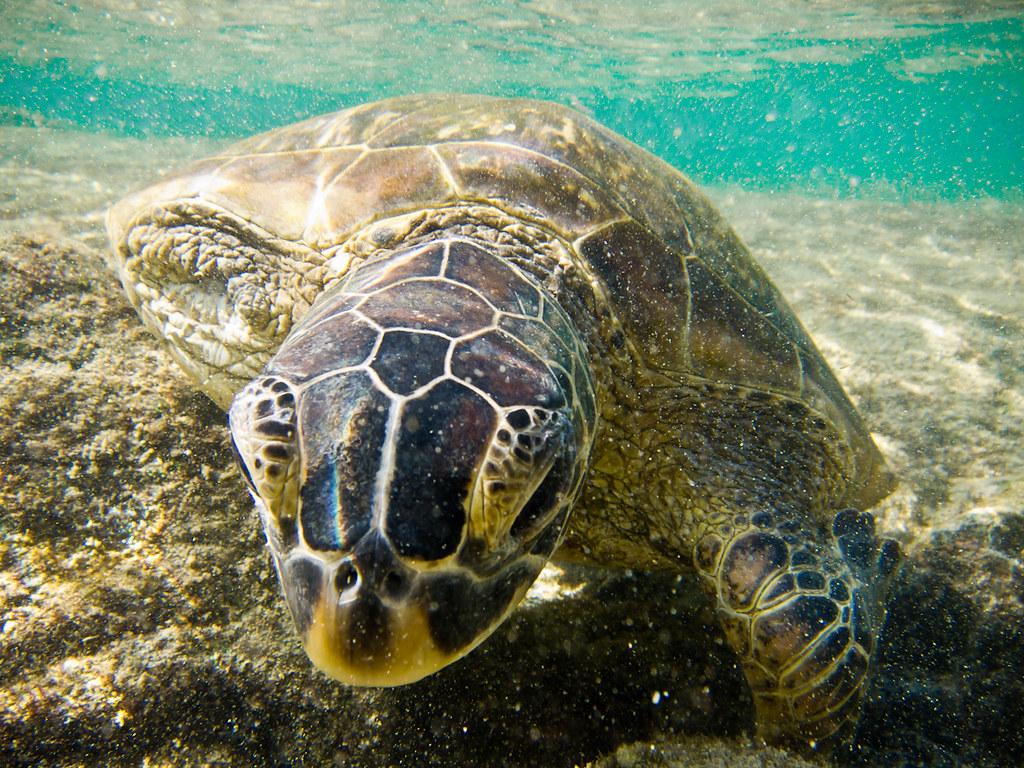 Green turtle near Outrigger at Honaunau bay