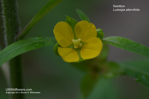Seedbox, Smooth Seedbox, Bushy Seedbox, Rattle-box, Square-pod Water-primrose - Ludwigia alternifolia