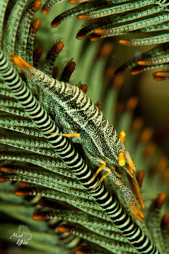 Green Crinoid