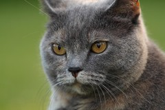 nose, animal, british shorthair, small to medium-sized cats, pet, snout, fauna, chartreux, close-up, cat, korat, wild cat, carnivoran, whiskers, russian blue, domestic short-haired cat,