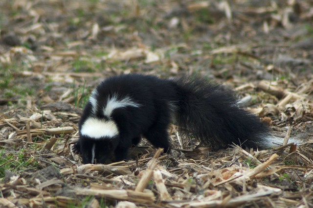 Striped Skunk definition/meaning