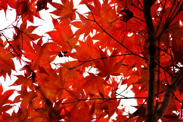 Dramatic Red Japanese Maple Leaves