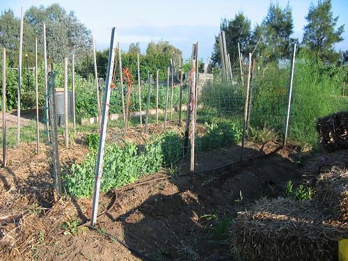 Peas Spring 2011