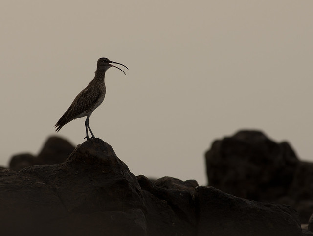 calling whimbrel