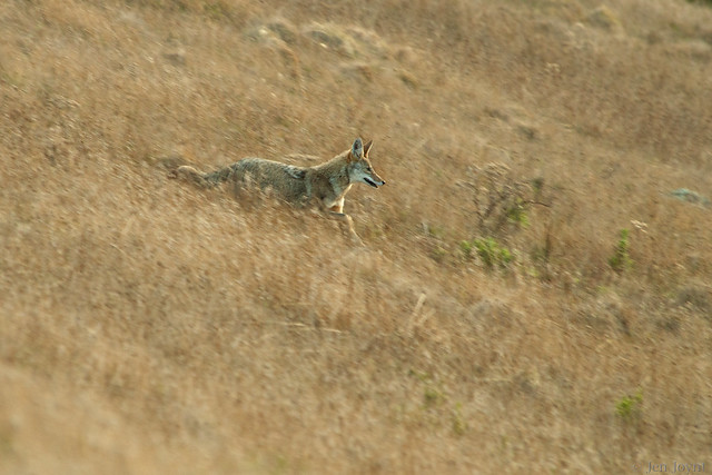 Coyote in Motion