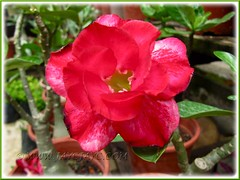 Beautiful double-flowered cultivar of Adenium obesum