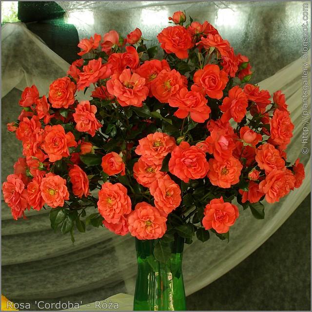 Rosa 'Cordoba' - Róża
