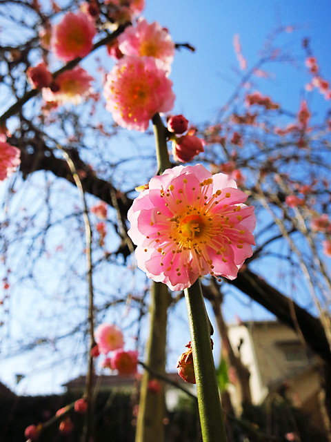 shidare ume (weeping plum tree) at hamano dental clinic