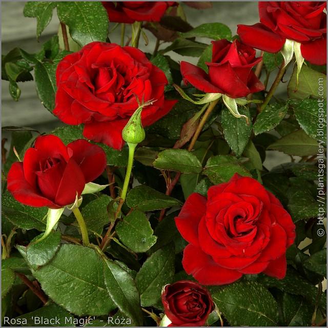 Rosa 'Black Magic' - Róża  'Black Magic'